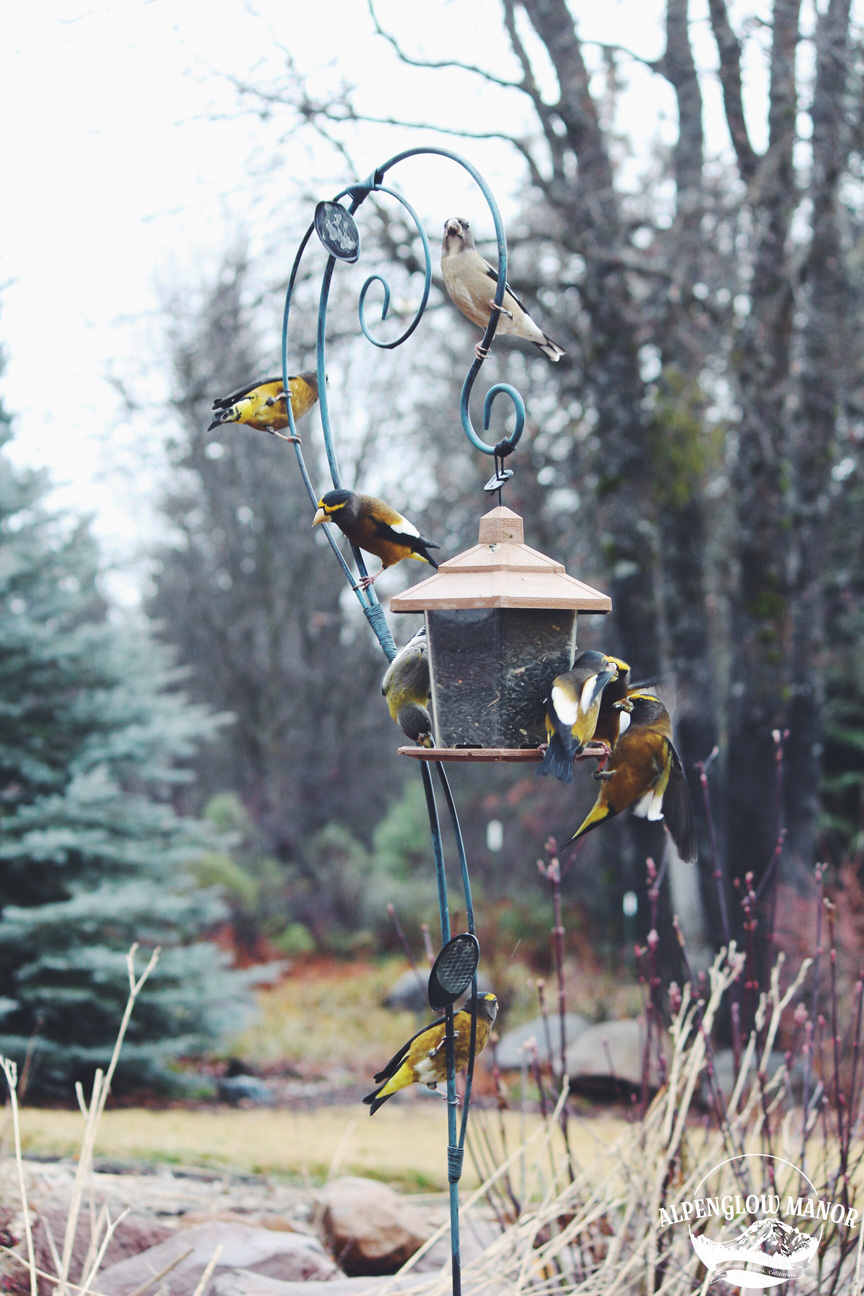 A flock of Evening Grosbeaks visit our feeder