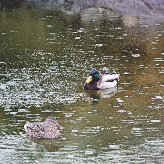 Mallards in our Pond